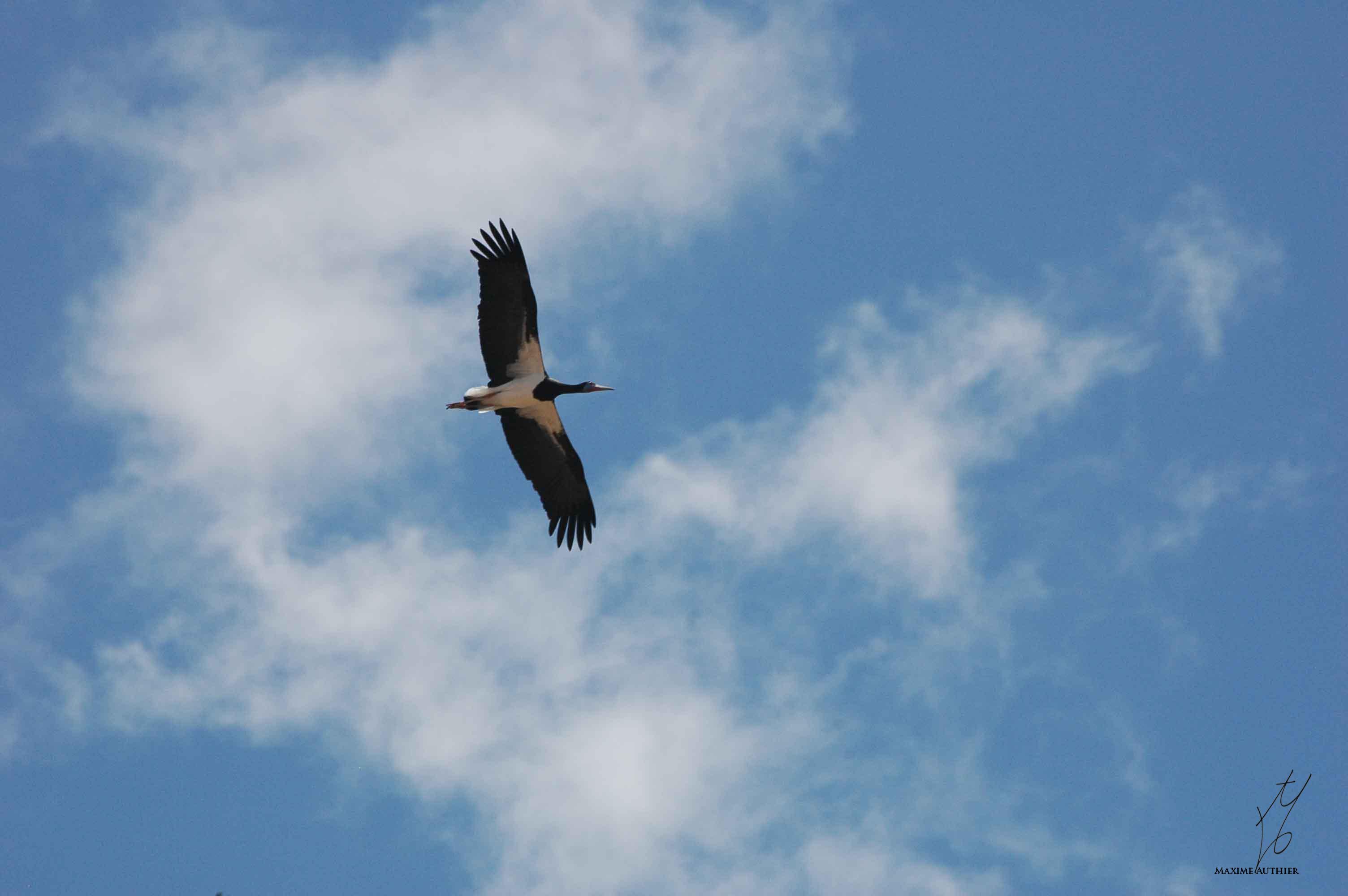 Photographie d'une cigogne noire dans le ciel africain.