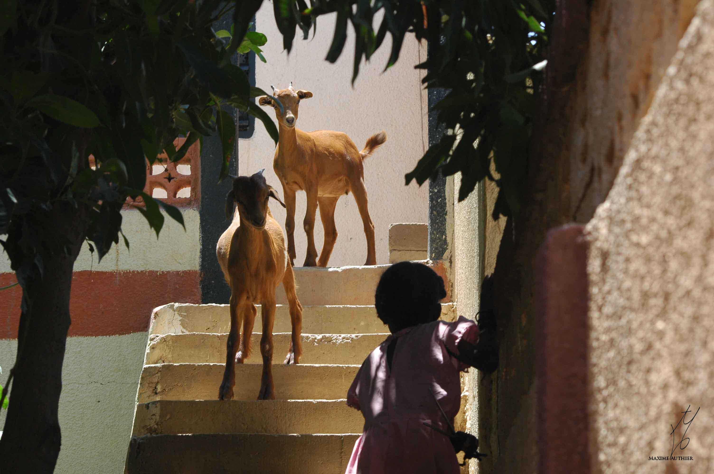 Les chèvres dans les rues d'un village africain