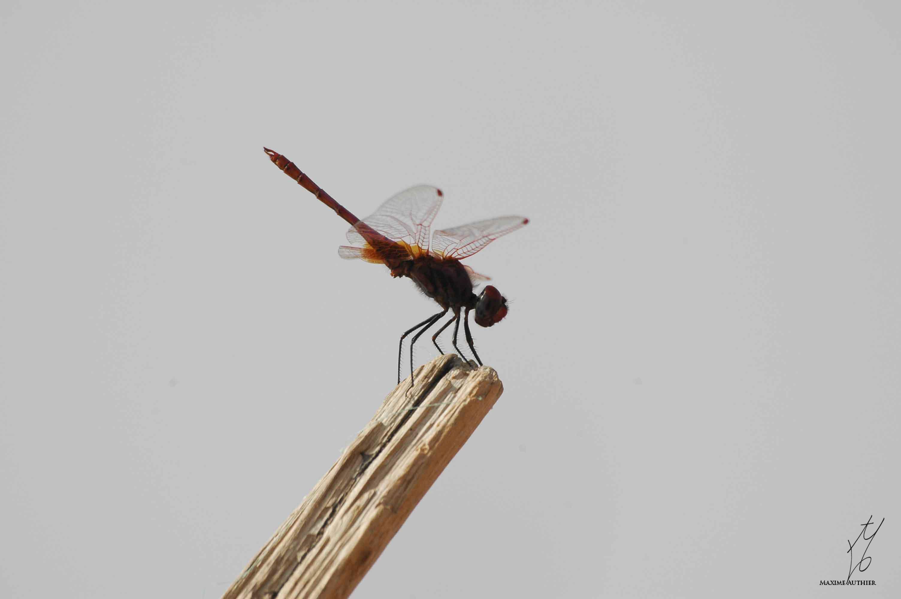 Un libellule en Afrique