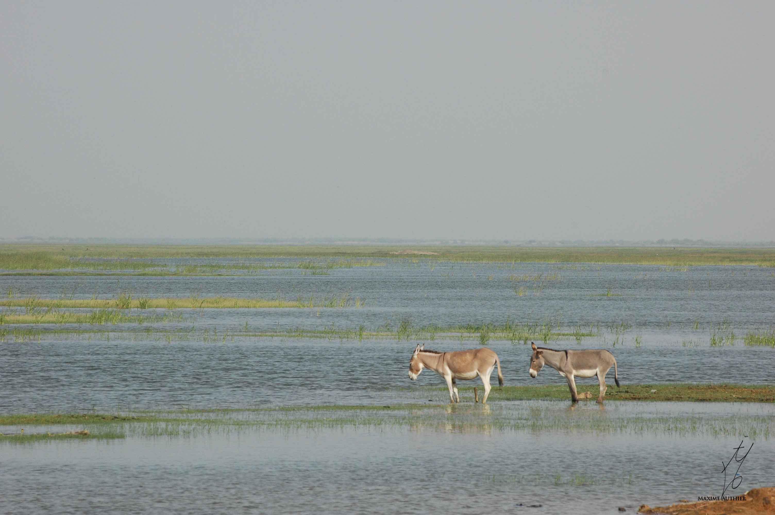 Deux ânes les pattes dans l'eau du fleuve Niger
